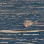Minke whale breath