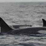 (72) Killer Whales