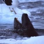 (90) Leopard Seal