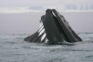 Feeding Whale - 2
