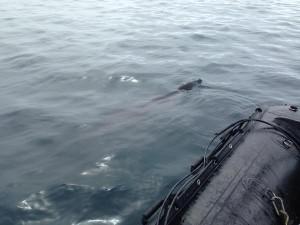 leopard seal palmer