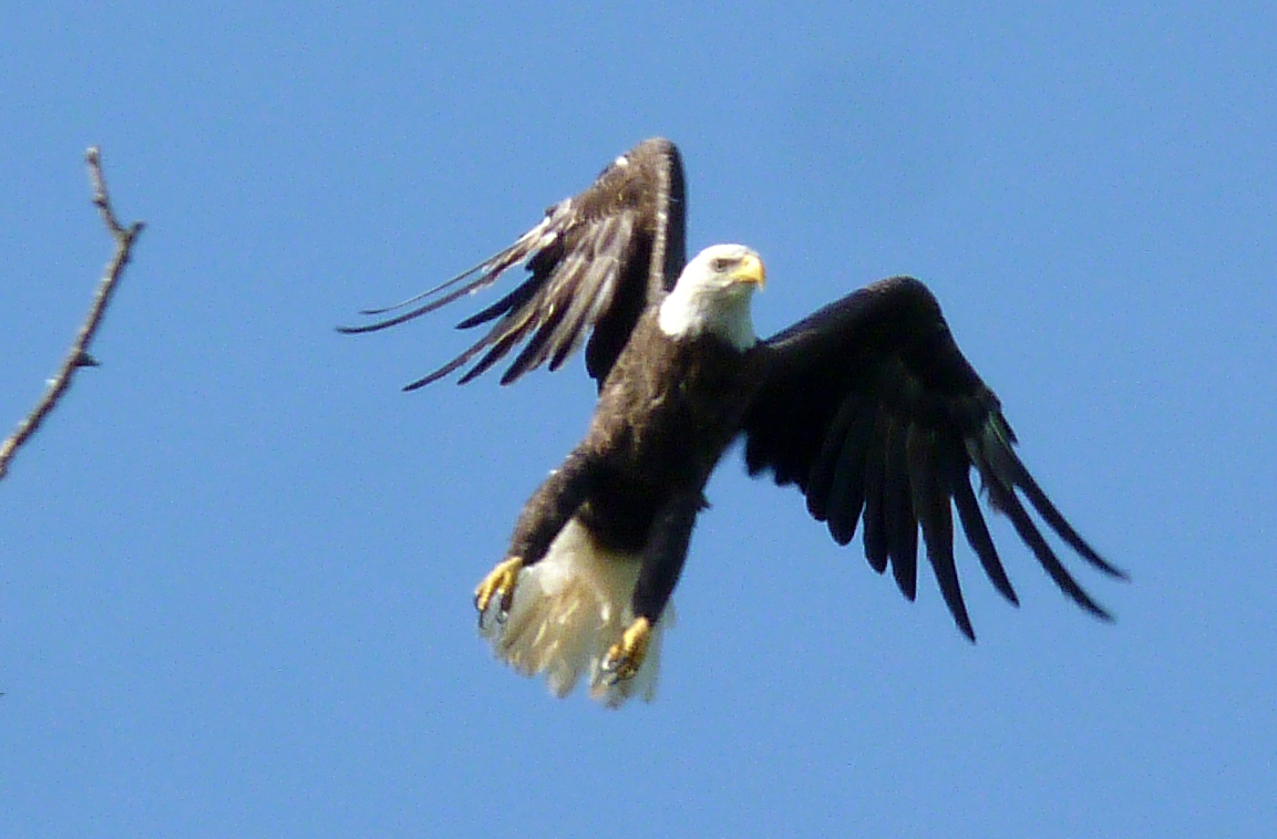 Bald Eagle crop