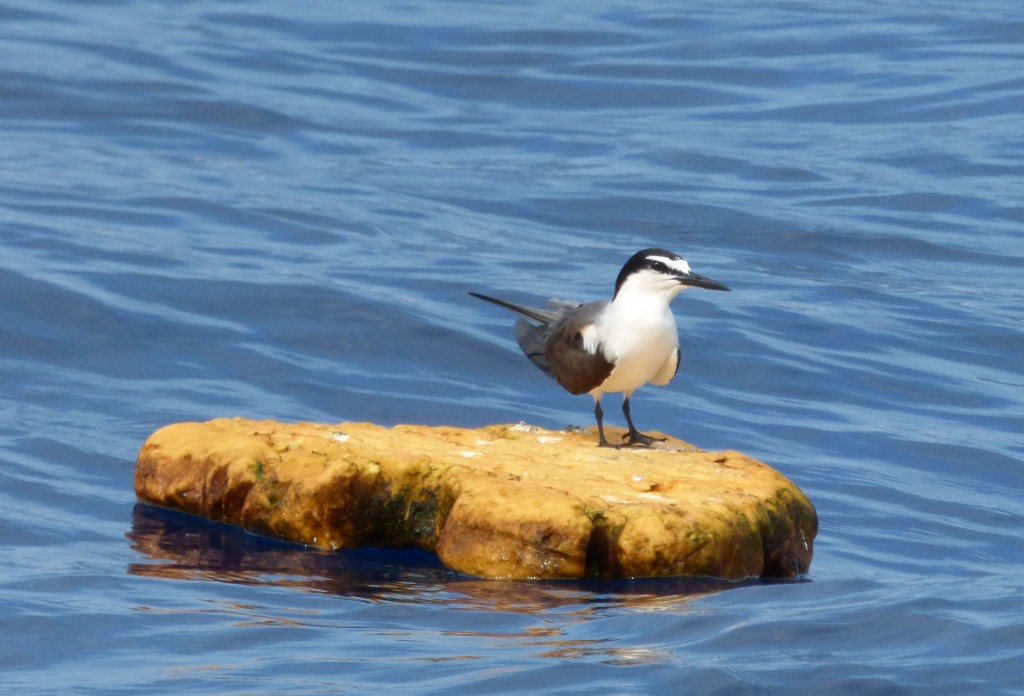 Bridled Tern, pelagic waters off Cape Hatteras, NC