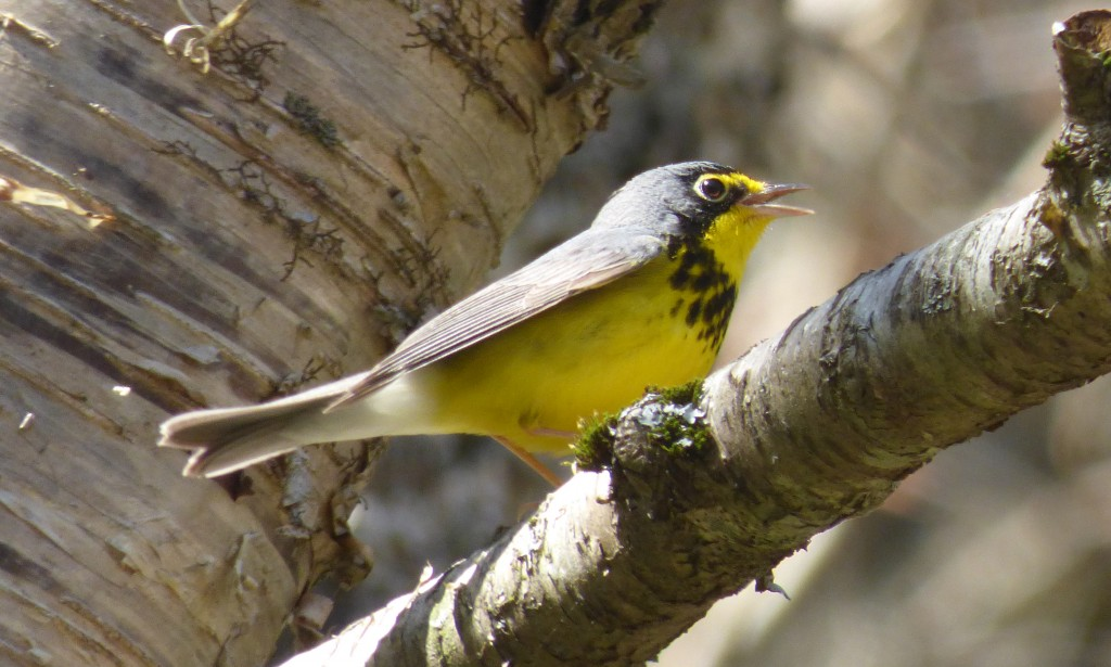 looking at a Canada Warbler on the Blue Ridge Parkway -- way more fun than writing about the Odyssey