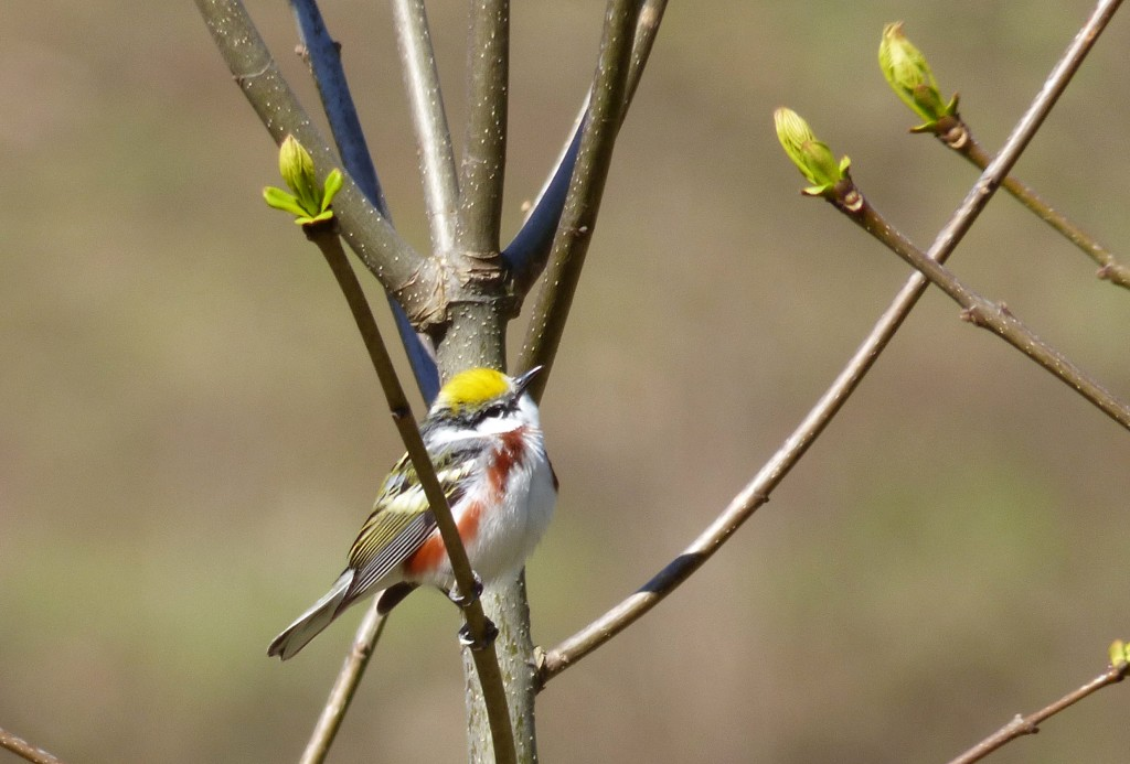 Chestnut-sided Warbler, Max Patch Road, Haywood Co., NC