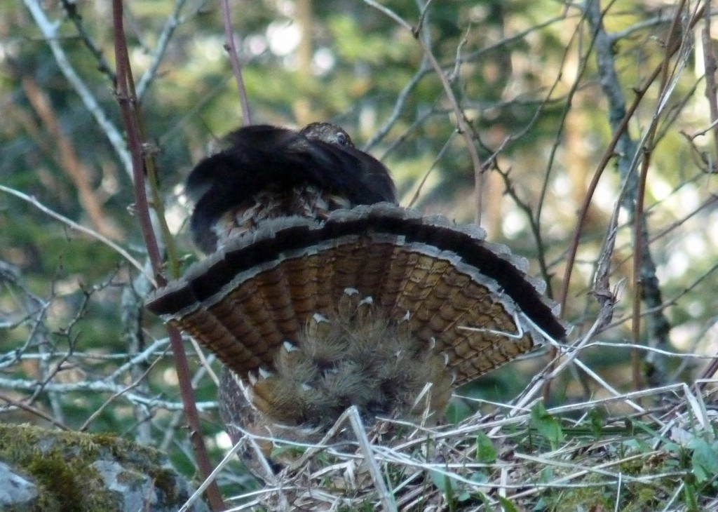 business end of a displaying Ruffed Grouse, Great Smokey Mountains National Park