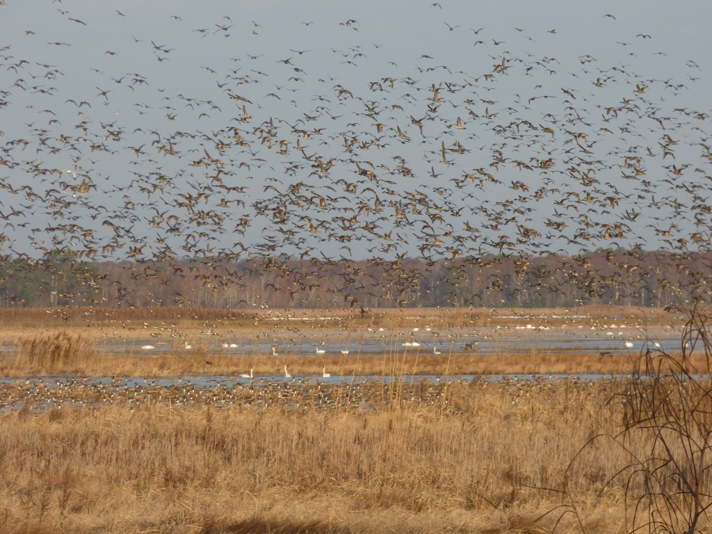 Northern Pintail Tornado, Mattamuskeet National Wildlife Refuge