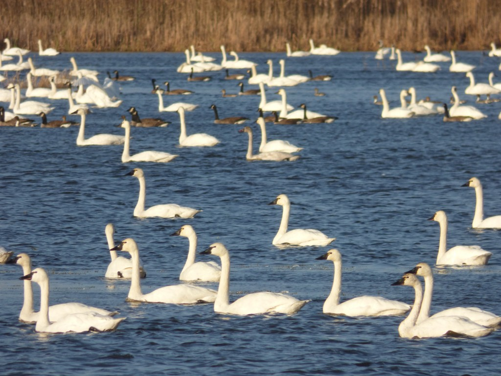 Tundra Swans, Canada Geese and Northern Pintail, Mattamuskeet National Wildlife Refuge