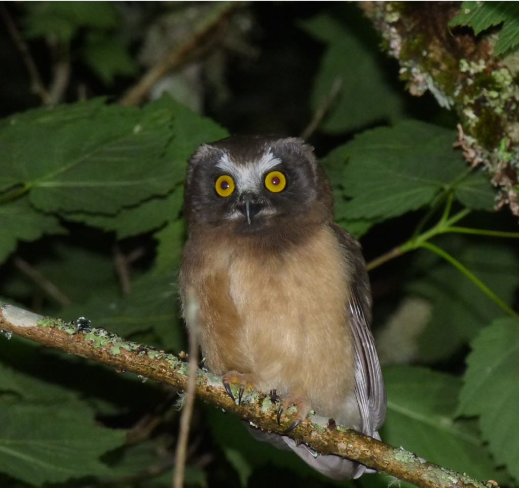 Baby Northern Saw-whet Owl, Devil's Courthouse