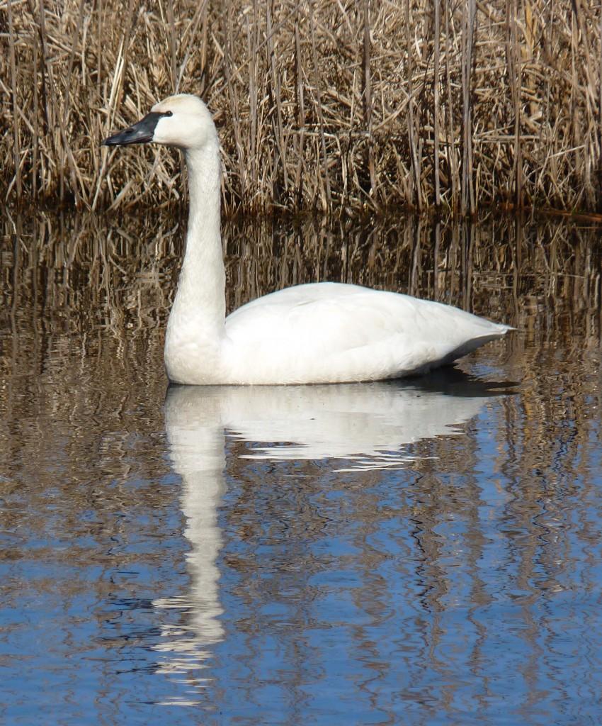 Tundra Swan, Mattamuskeet NWR