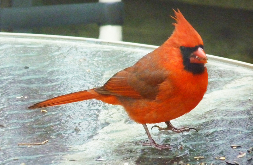 Northern Cardinal, the NC state bird, Durham, NC