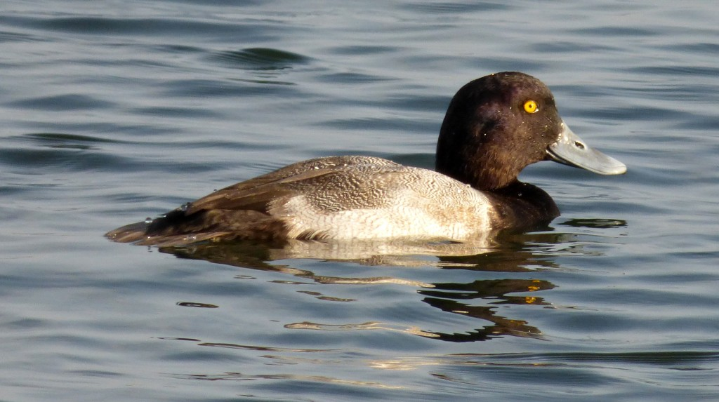 Greater Scaup, Washington County