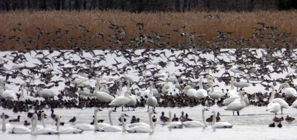 Tundra Swans and various dabbling ducks, Mattamuskeet NWR