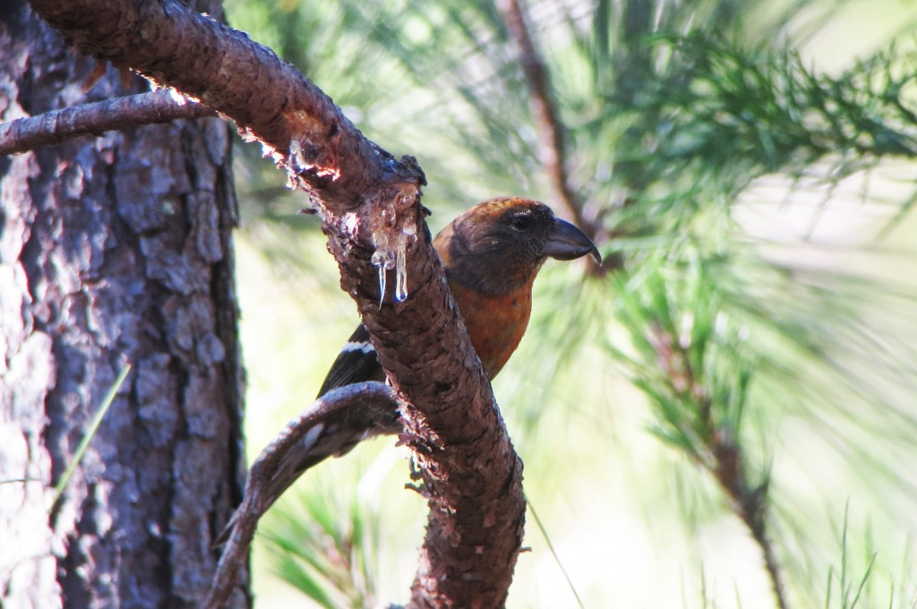 endangered Hispaniolan Crossbill, an estimated 400-2300 mature individuals persist