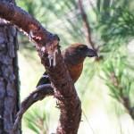 the endangered Hispaniolan Crossbill remaining population estimated at 400-2300 mature individuals