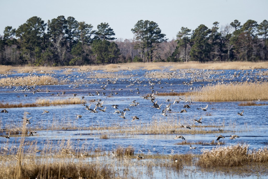 lots of ducks at Mattamuskeet National Wildlife Refuge, photo by Binbin Li