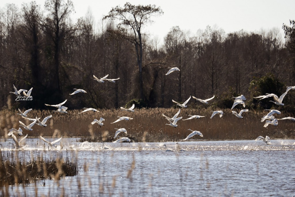 Tundra Swans taking off at Mattamukseet National Wildlife Refuge, photo by Binbin Li