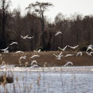 Water Quality Consequences for Mega-flocks at Mattamuskeet