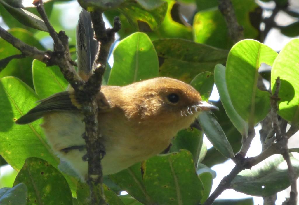 Kauai Elepaio