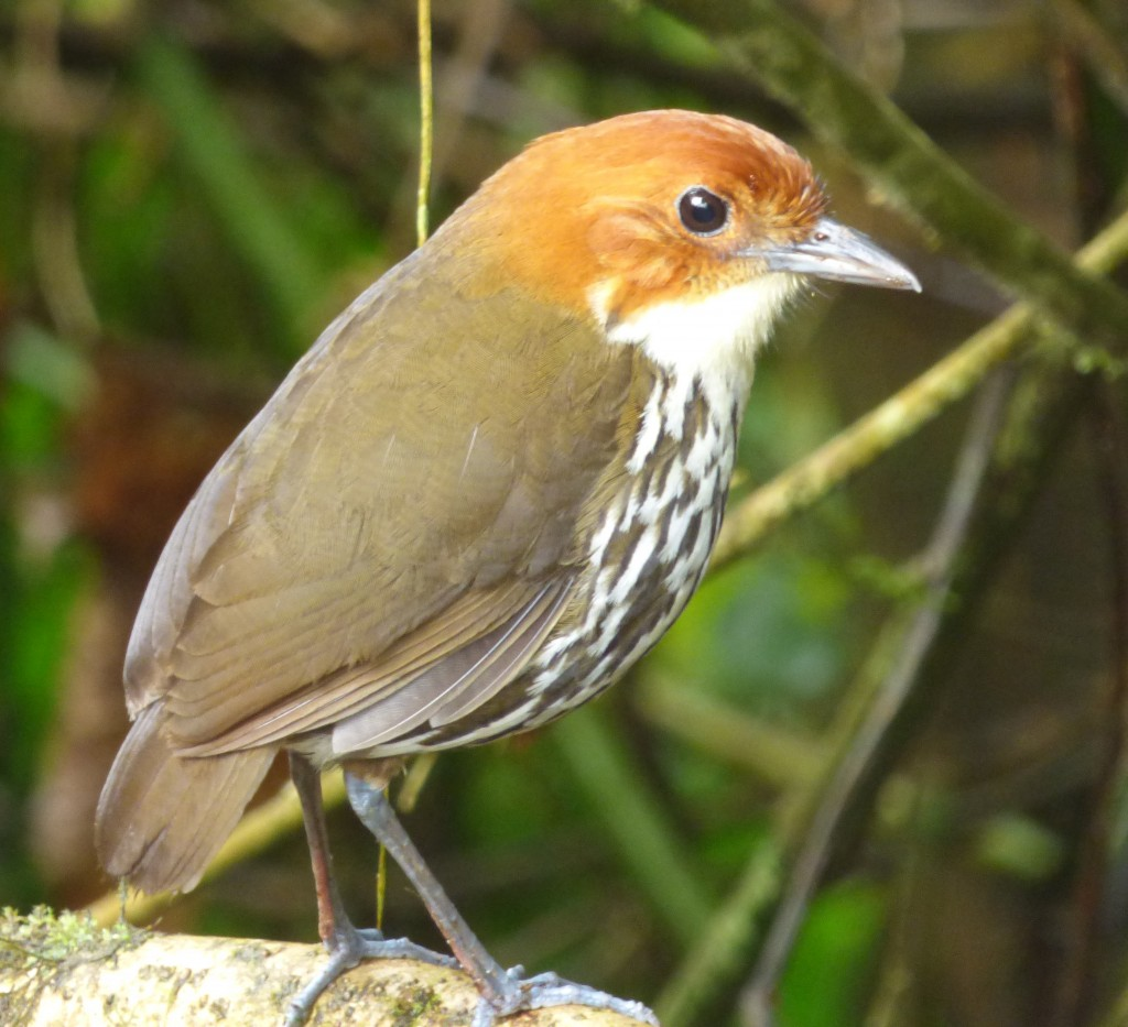 2 Chestnut-crowned Antpitta