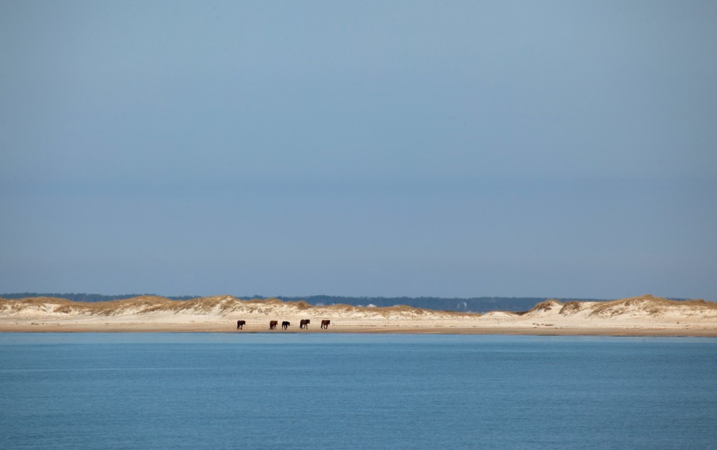 The ponies of Shackleford Banks