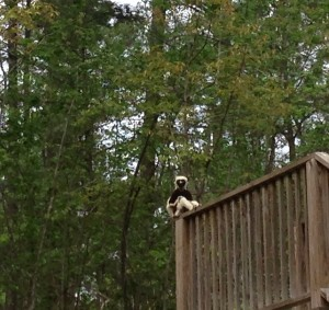 A Coquerel's Sifaka at the DLC. Photo by author, 2014.