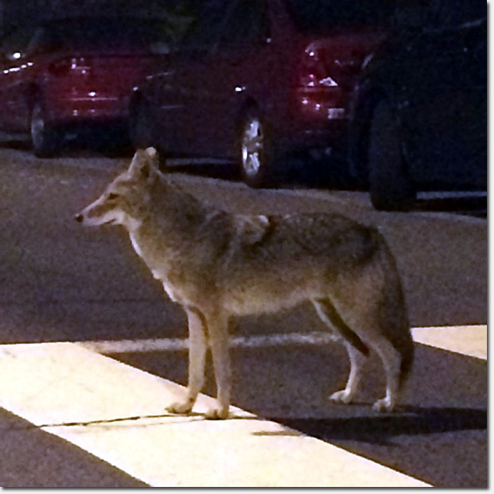 coyote in SF by Jennifer Anwaya