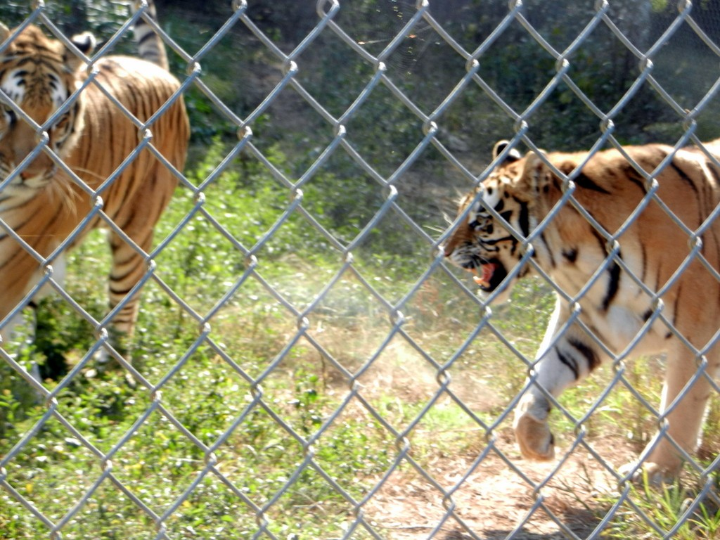 Carolina_Tiger_Rescue 092