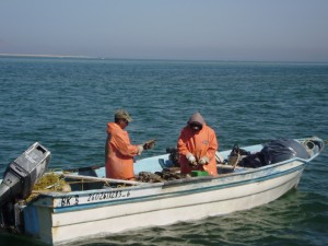 Harvesting callos (pen shells)