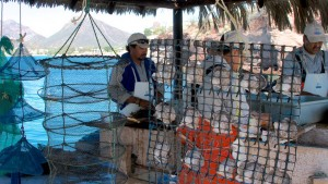 Pearl oyster aquaculture in Guaymas
