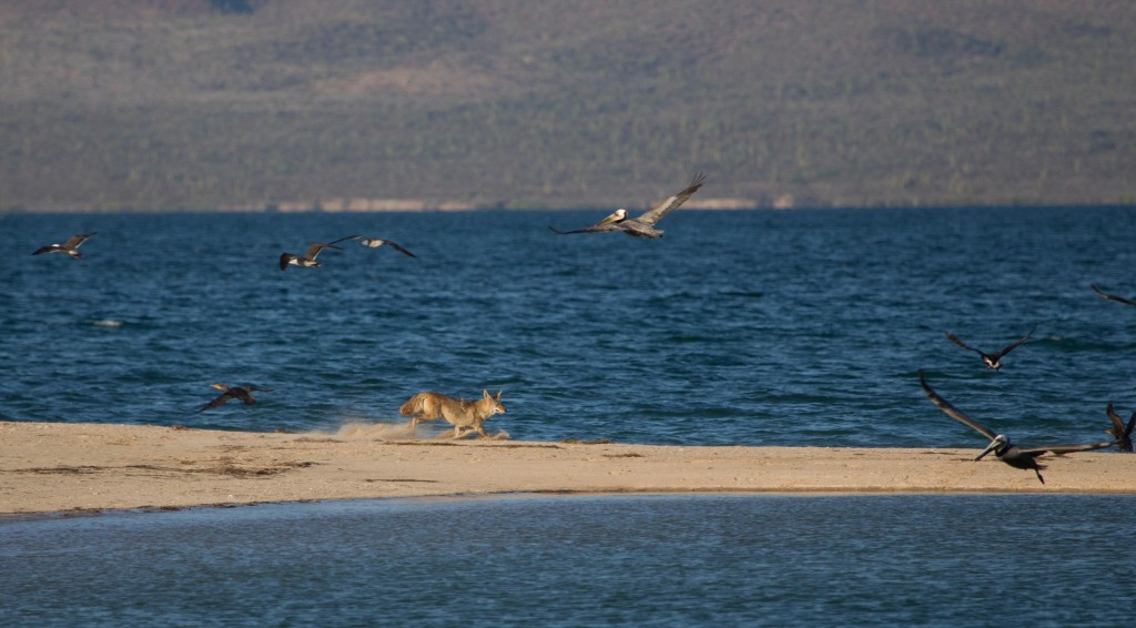 Our coyote friend trying to catch dinner on east Tiburon Island. Photo by Shannon Switzer