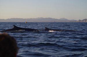 Fin whales getting air