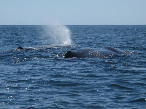 Sperm Whale Blow