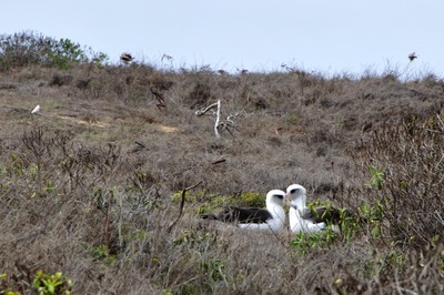 Here is our first pair of Laysan Albatrosses inside the Ka'ena Point Reserve.