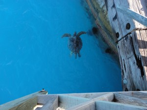 We saw this big, male turtle from atop the cargo pier. We also saw a few others resting and sunning themselves on the beach.