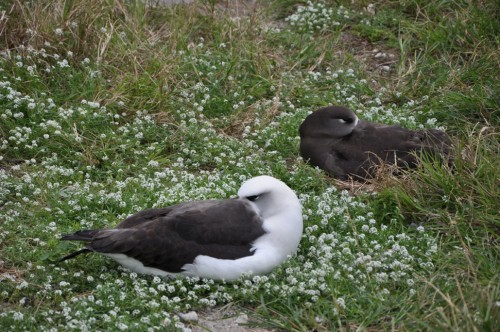 A Laysan and Black-Footed Albatross take a nap together.