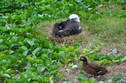 Here a Laysan Albatross and a Laysan Duck chill together. Laysan Ducks can be found near fresh water sources and at one point reached a bottleneck of only 11 animals. Today they are doing very well on Midway.