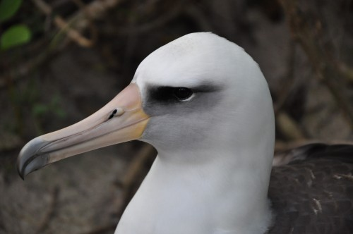 Close up of the gorgeous head of a Laysan Albatross.