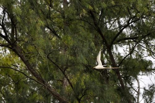 A white-tailed tropicbird flies through the iron wood trees.
