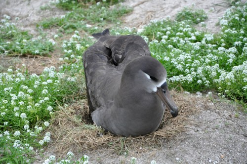 Black-Footed Albatross on its nest.