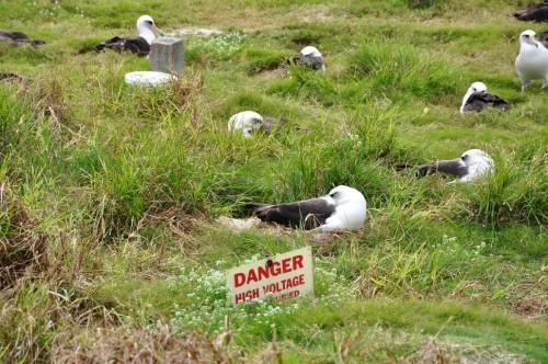 Albatross will nest anywhere.