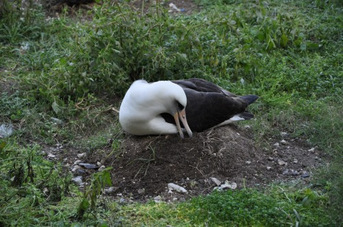 Laysan Albatross build up their nest cups using whatever material is within beak's reach. This fellow here has grabbed some sandy soil and is tamping it down. When it's raining it's the best time to build up a nest cup with sand!