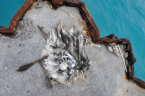 Here lies a dead albatross, with a stomach full of plastic out on Cargo Pier. While Dr. Hyrenbach at Hawaii Pacific University told us that there is no direct link between ingesting plastic and death, we all think these animals should not have to have stomachs full of plastic as a matter of course.