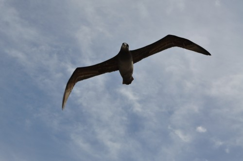 Here is a Black-Footed Albatross in flight - they are on a whole more aggressive than Laysan Albatross, but personally I like their colors better: white on a dusky brown/black!