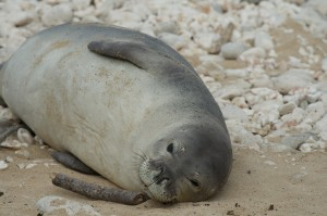 One of four monk seals surrounded by people at Kaena Pt.
