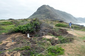 Tom McMurray on the trail at Kaena Pt., an albatross on the nest nearby.