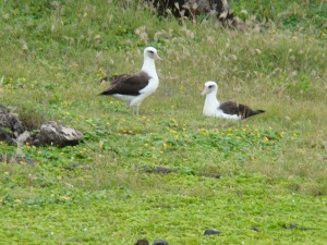 An albatross pair at Kaena Point.