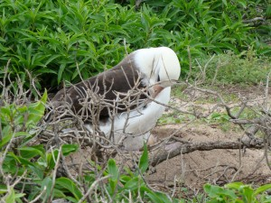 An albatross at Kaena Point.