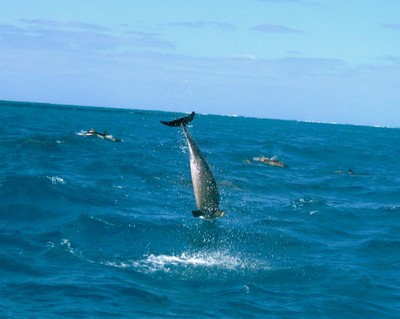 Spinner dolphins execute graceful spinning jumps out of the water