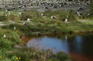 Laysan Duck Habitat